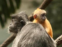 Lutung, hewan yang masih sering terdengar teriakannya di Gapui