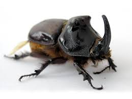 Kumbang Badak. Dok: www.kaskus.co.id