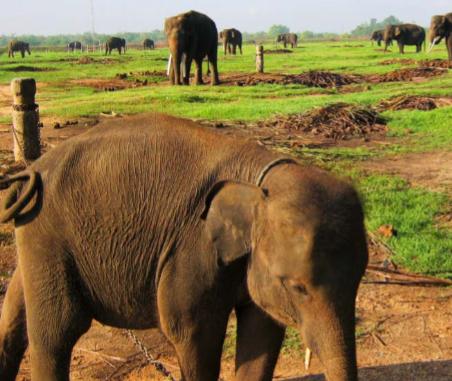 gajah penyeruduk